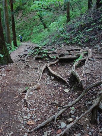 61根が出た登山道