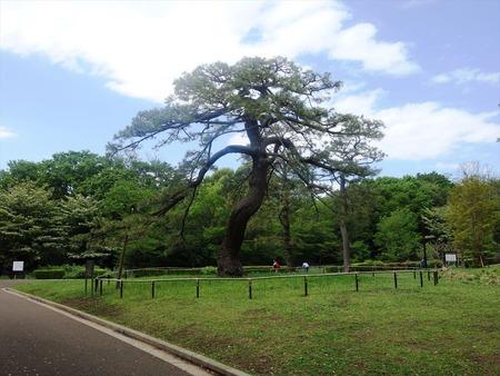 03松の木