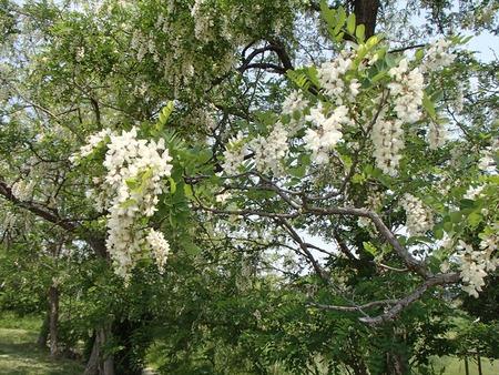 04アカシヤの花
