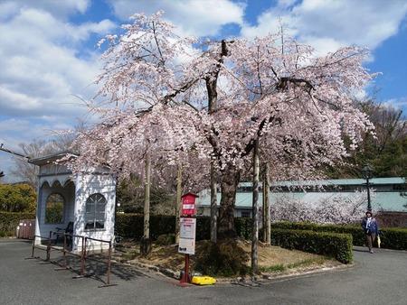 03-正面桜