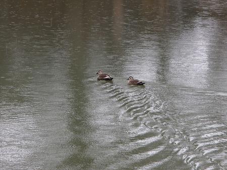 75鴨も泳ぐ