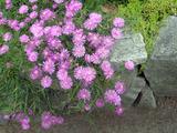 明石公園に咲く6月の花34