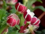 3月ベランダの可憐な花