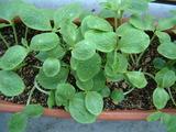 ベランダの謎の植物