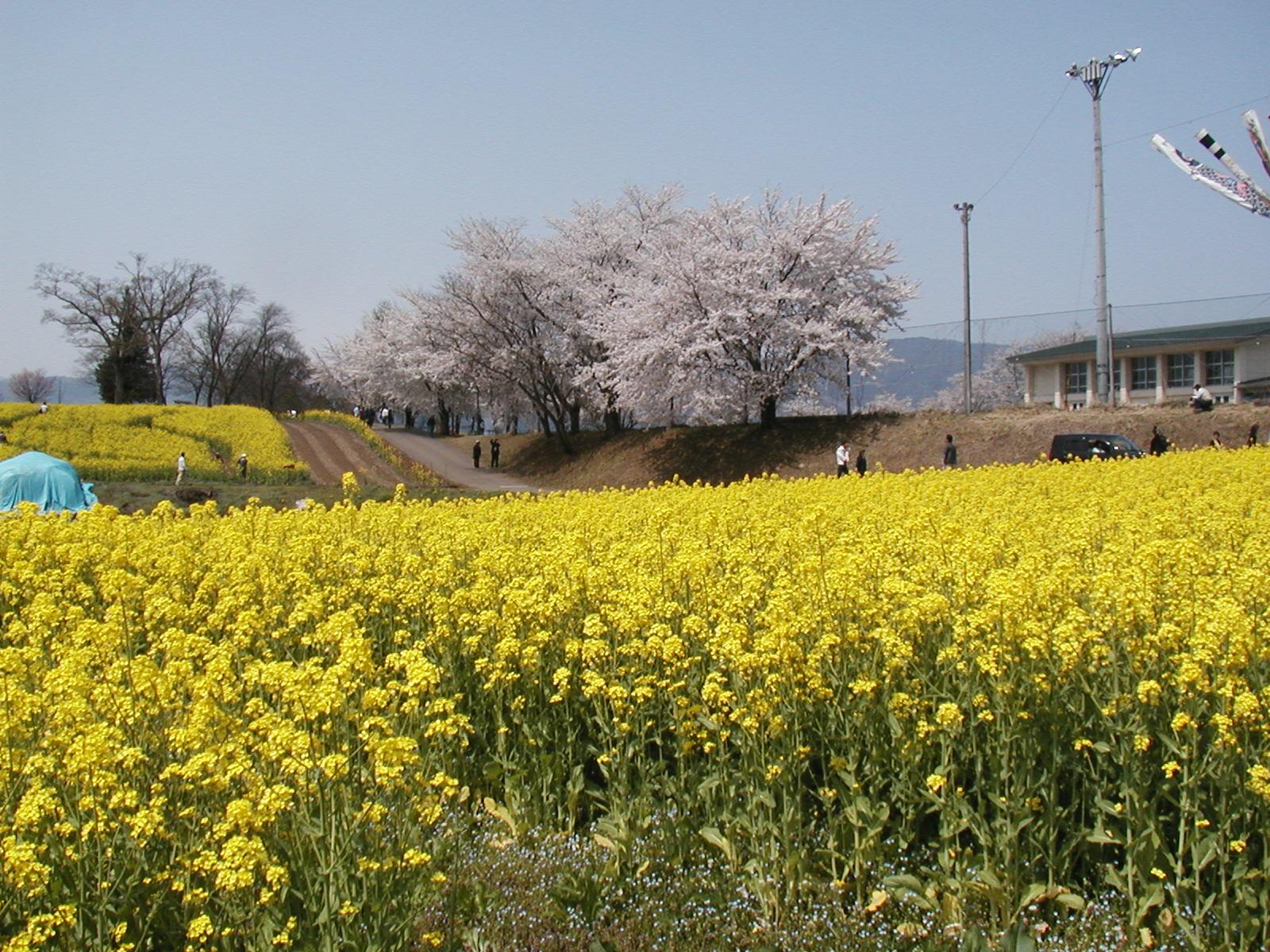 菜の花と桜 散り始めの桜とコラボレーション 菜の花畑と千曲川  飯山市 菜の花公園