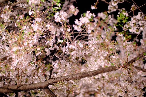 千鳥ヶ淵の桜X-Pro2006