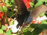 蝶々その1