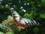 蝶々その2