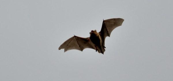 コウモリの画像 p1_4