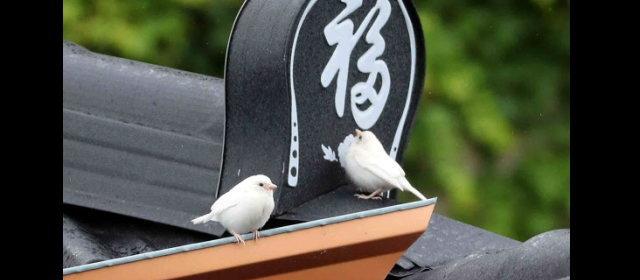 韓国白スズメ