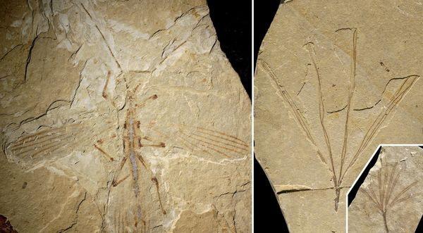 ナナフシの化石
