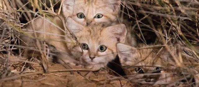 スナネコの子猫_1