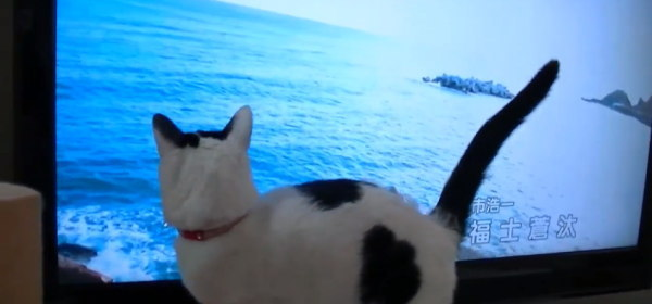 あまちゃんが好きなネコ