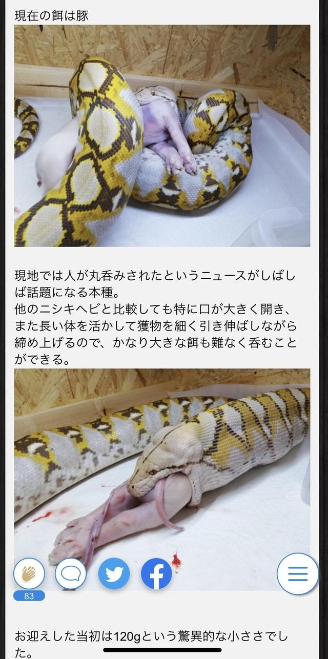 横浜アミメニシキヘビ3