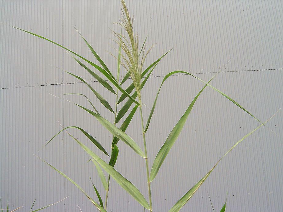 ヨシ(葦)/その1/とりあえず「ヨシ」ということで : 雑草をめぐる物語