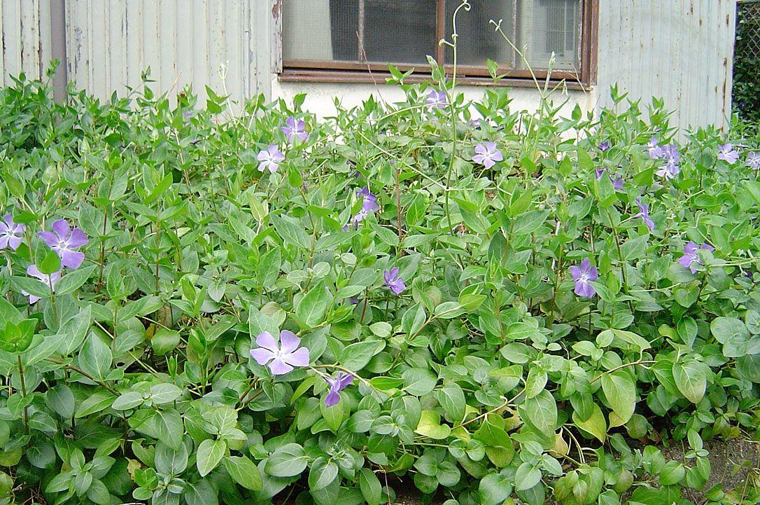 ツルニチニチソウ/綺麗な花には毒がある : 雑草をめぐる物語
