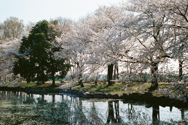 桜の季節は過ぎ去りて