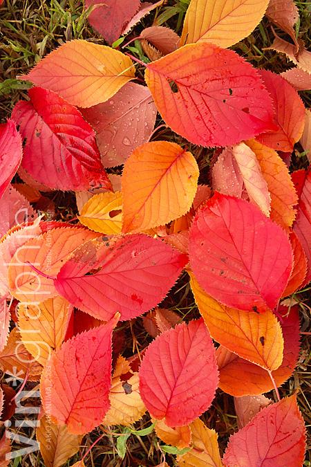 red_leaf08