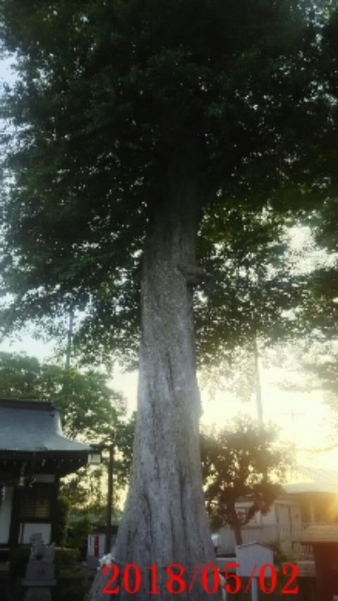 ⑥御神木むくの木