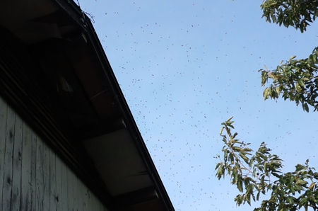 ミツバチb1_3I0122