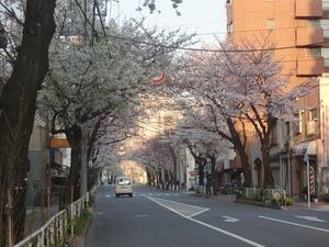 常盤桜並木