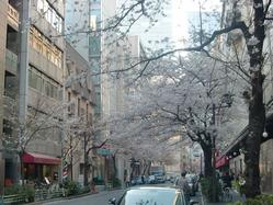 裏通り桜並木