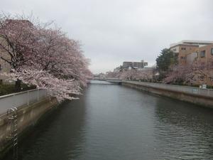 大横川さくら1