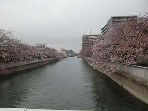 大横川さくら2