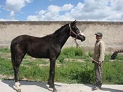 新疆的伊犁马3