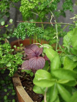 隠れ赤紫蘇146