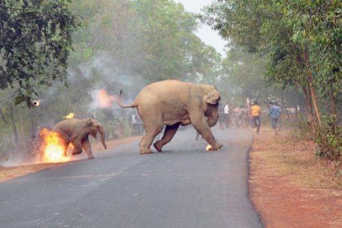 【画像あり】 インド人、象に火をつける