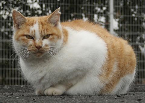 日本猫_2008-1