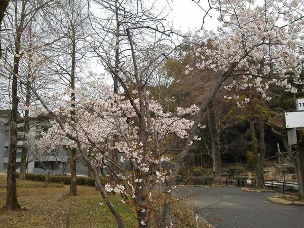 佐世保の桜