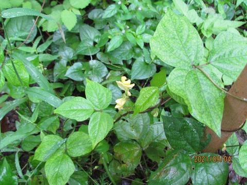 13,ヤブツルアズキの花R