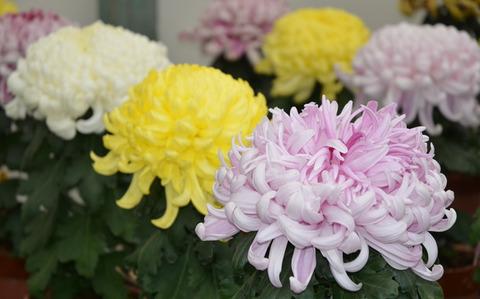 和田アキ子 菊の花 (4)