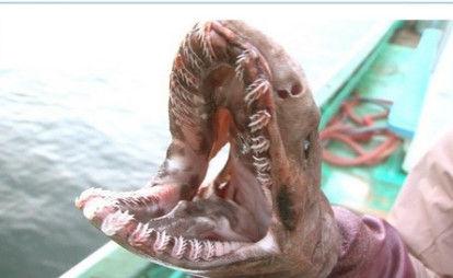 tokio 古代サメ捕獲 (5)
