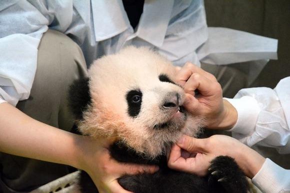 syansyan-panda