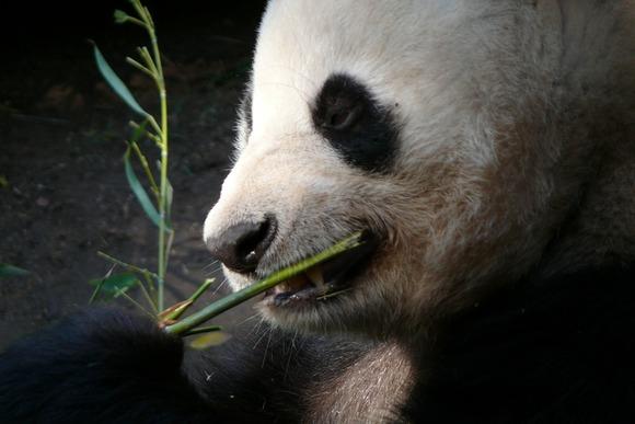 hakodate-panda