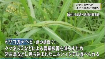 miyakojima-itachi
