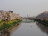 五条川桜1