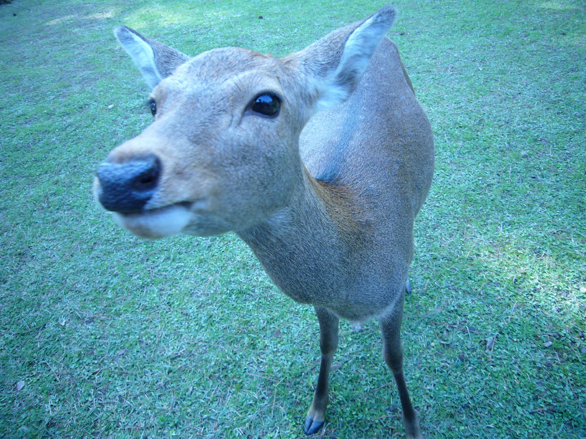 今回の旅行の趣旨は、「鹿に鹿せんべいをあげること」だったので、行った時点ですぐに叶いました♪ ce83e7f5c84