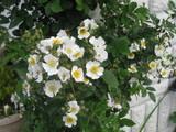 木香薔薇とてんとう虫