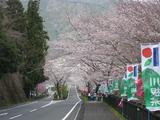 家山 桜祭り