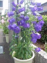 カンパニュラ 紫
