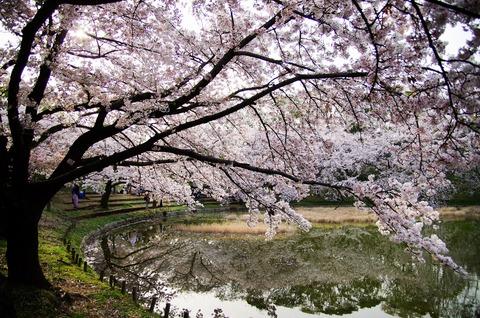 ソメイヨシノ鶴見緑地公園