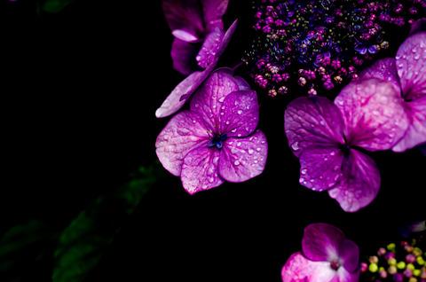 ガクアジサイ 額紫陽花