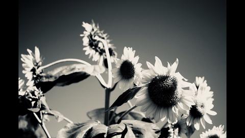 不気味な向日葵モノクロ