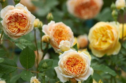 rose-119-005