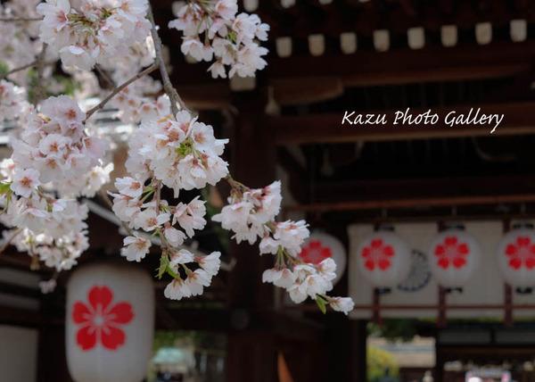 平野神社でお花見♪