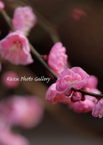 梅は咲いたか♪京都編